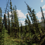 "Alaska: Drunken Forest: Leaning trees in this Alaska forest tilt because the ground beneath them, which used to be permanently frozen, has thawed. Forests like this are named ""drunken forests."""