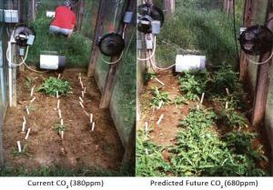 Herbicide Loses Effectiveness at Higher CO2